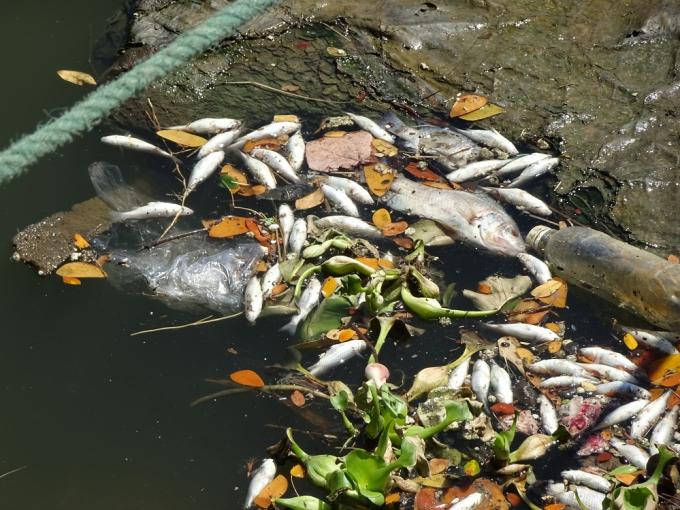 Cá chết nổi trắng kênh Phú Lộc, bốc mùi ô nhiễm vào sáng 21/8.