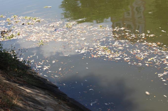 Đại diện chính quyền cũng nhìn nhậnđây là lần cá chết nhiều nhất trong những năm gần đây.