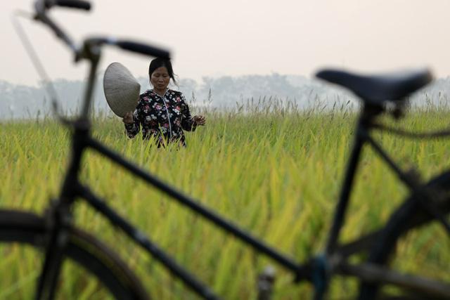 Một nông dân đang đi thăm đồng trên thửa ruộng đã chín vàng. Chị cho biết đang sốt ruột chờ máy là gặt ngay, mùa này mưa bão bất chợt là thiệt hại, thà