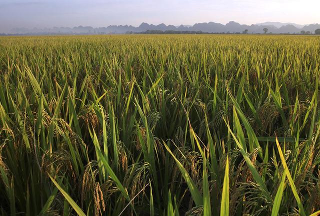 Tại khu vực này, một số ruộng đã gặt xong, trong khi những nơi còn lại vẫn còn lúa chín trĩu hạt chờ thu hoạch.