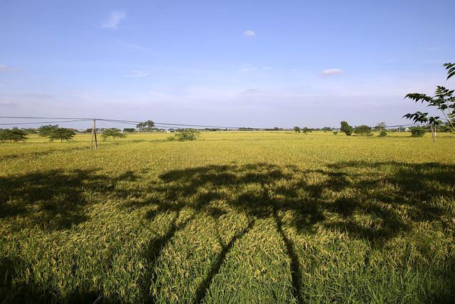 Bóng rặng xoan in trên cánh đồng lúa tạo thành những mảng miếng trông khá lạ mắt.