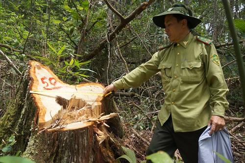 Khu vực bịphá rừng Pơ mu quý hiếm thuộc khu vực vành đai biên giới Nam Giang.