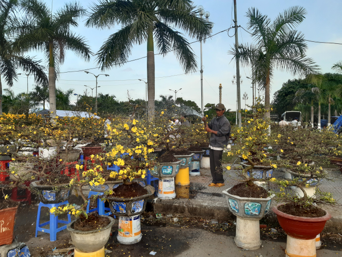 Các nghệ nhân chăm chút cho các cây mai kiểng tết. Theo ghi nhận của phóng viên, thời tiết những ngày vừa qua tại Đà Nẵng là rất đẹp, giúp khách hàng an tâm hoa sẽ nở đúng trong 3 ngày tết Nguyên đán tới đây.