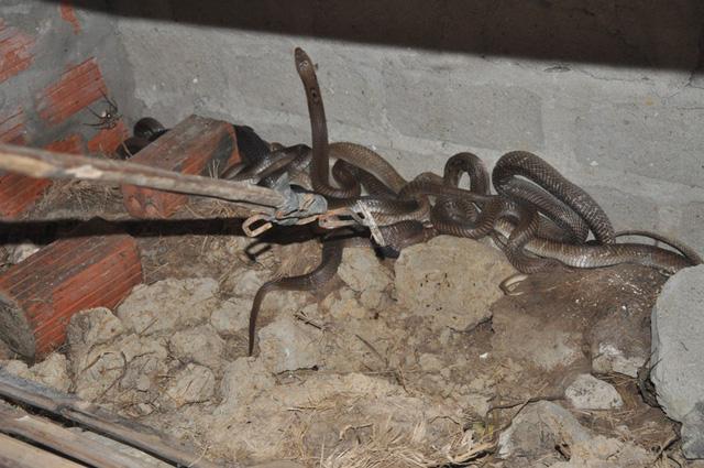 Những con rắn hổ mang, hổ trâu đang chờ xuất bán trong chuồng.