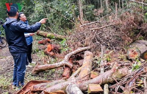 Những khúc gỗ nằm ngổn ngang trên con đường tuần tra bảo vệ rừng,lâm phần Công ty TNHH MTV Lâm nghiệp Đăk Roong.