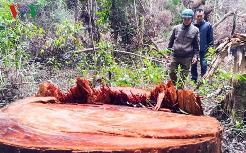Một cây Chua Khét đường kính khoảng 60cm bị nhân viên Công ty Lâm nghiệp Đăk Roong thuê người cưa hạ xuống đường tuần tra bảo vệ rừng..