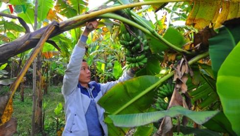 Chuối ngự Đại Hoàng là giống chuối quý, được Nhà nước bảo tồn nguồn gen.