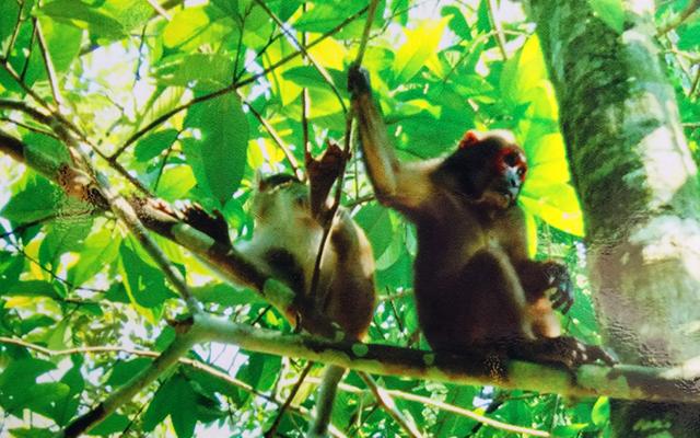 Khỉ mặt đỏ được nuôi ở khu bán hoang dã trước khi thả trở lại rừng.