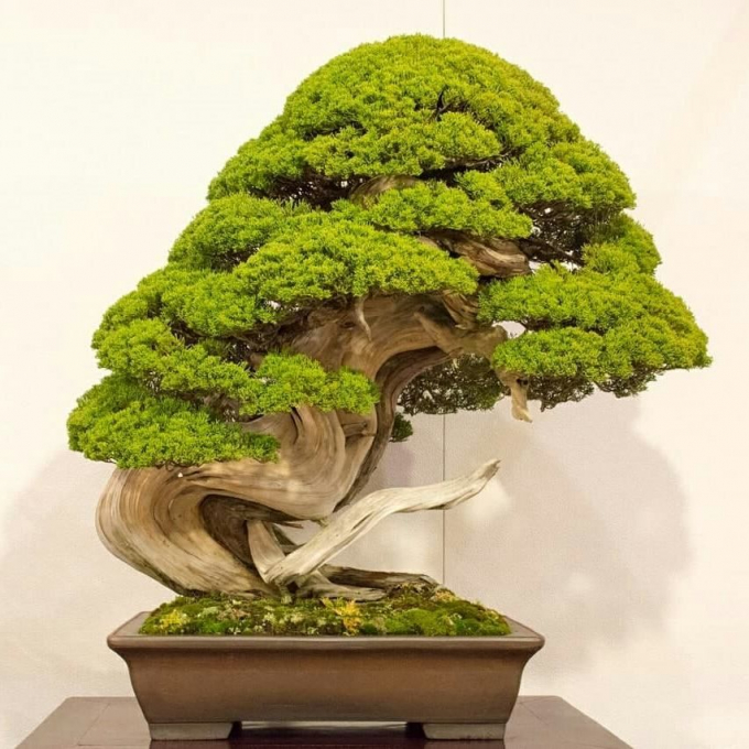 7 cây bonsai trị giá 13 triệu yên (2,7 tỷ VNĐ)
