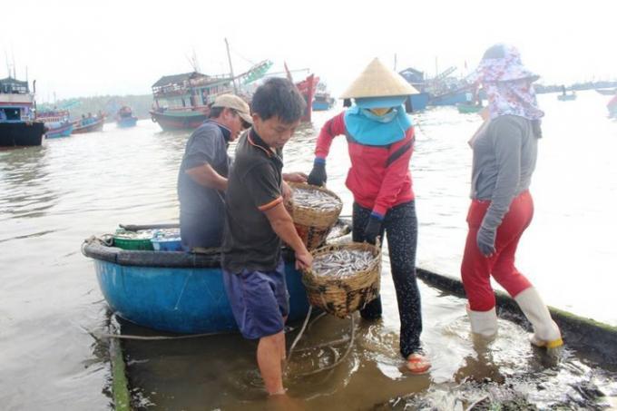 Cá cơm năm nay được ngư dân đánh giá được mùa, được giá (Ảnh - Lan Anh)