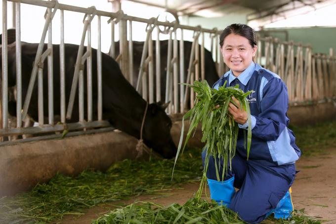 Trần Thị Thanh Thoan cho đàn bò sữa trong trang trại ăn cỏ.