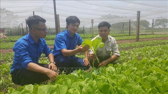 Một số mô hình nông nghiệp trồng rau an toàn tại xã Cộng Hòa, huyện Quốc Oai (Hà Nội) theo tiêu chuẩn VietGAP.