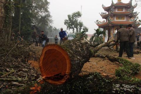 Một cành gỗ sưa tại làng Phụ Chính, xã Hòa Chính.