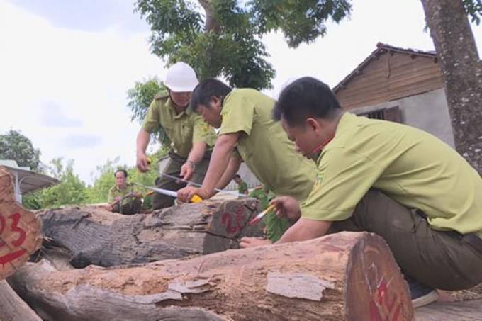 """Tổng số gỗ liên quan vụ án Phượng """"râu"""" mà cơ quan điều tra thu giữ đến nay là hơn 600m3."""