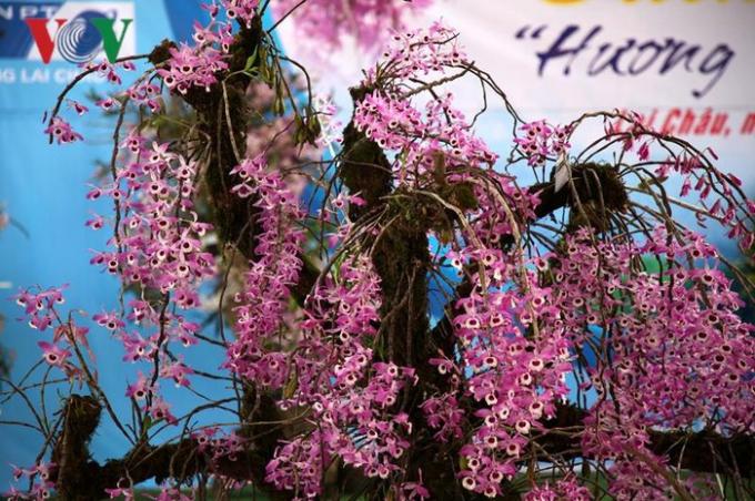 Sáng 23/3, tại thành phố Lai Châu triển lãm hoa lan rừng thường niên được tổ chức với sự tham gia của hàng chục chủ trại lan, với hàng trăm giò lan quý