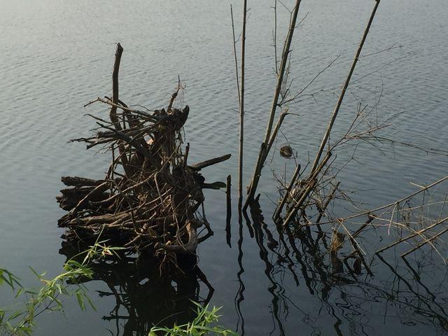 Những gốc cây lớn bị trôi ra giữa dòng sông.