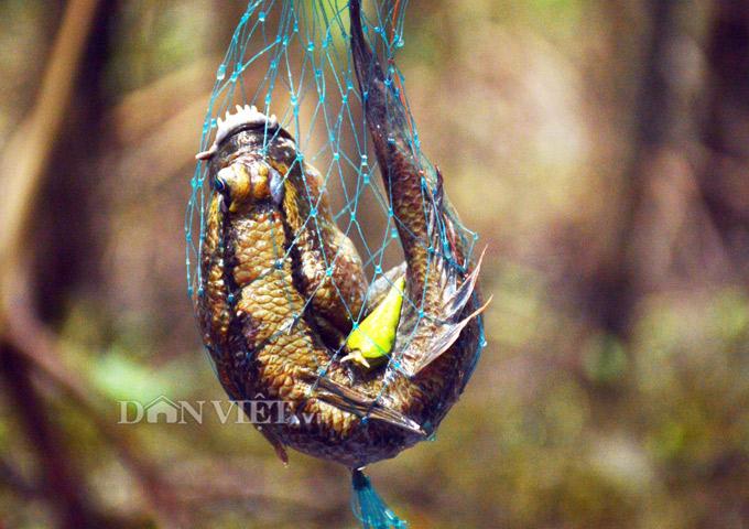 Cá thòi lòi được bắt bằng xà di ở rừng ngập mặn Cà Mau. Ảnh: Chúc Ly.