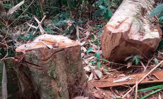 Rừng nguyên sinh bị đốn hạ không thương tiếc tại huyện Thường Xuân (Thanh Hoá).