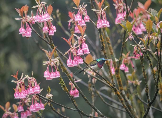 Tại Bà Nà, đào chuông xuất hiện ở khu vực làng Pháp và tập trung nhiều nhất ở khu tâm linh, với số lượng ước tính khoảng 450 cây. Người Bà Nà cho biết, nhờ thích hợp với thổ nhưỡng nơi đây nên đào chuông không đòi hỏi phải chăm sóc cầu kì như những giống hoa khác.
