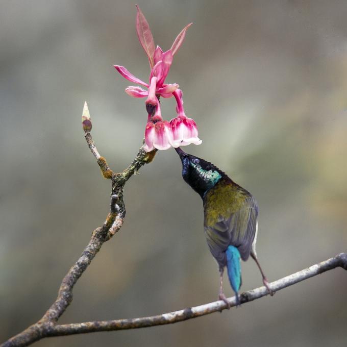 """Những chú chim đuôi nhọn háo hức vờn vít quanh những chiếc chuông nhỏ xinh treo lơ lửng trên cành hoa thô mộc mốc thếch màu thời gian, tạo nên khung cảnh sinh động tự nhiên đầy lôi cuốn trong bức hình của các nhiếp ảnh chuyên nghiệp lẫn nghiệp dư… Và bởi thế, bắt được khoảnh khắc chim hút mật bên hoa đào chuông được coi là """"chiến thắng vang dội"""" của những thợ săn ảnh và thể hiện đẳng cấp của những tay chơi ảnh mỗi khi lên đến Bà Nà dịp này."""
