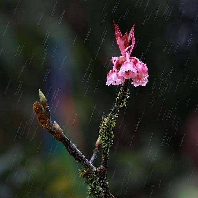 Cánh đào chuông treo lơ lửng trên những thân cây thô mộc dưới mưa.