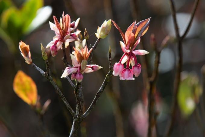 Săn cảnh hoa đào chuông luôn được các nhiếp ảnh gia thích thú mỗi độ Tết đến, Xuân về.