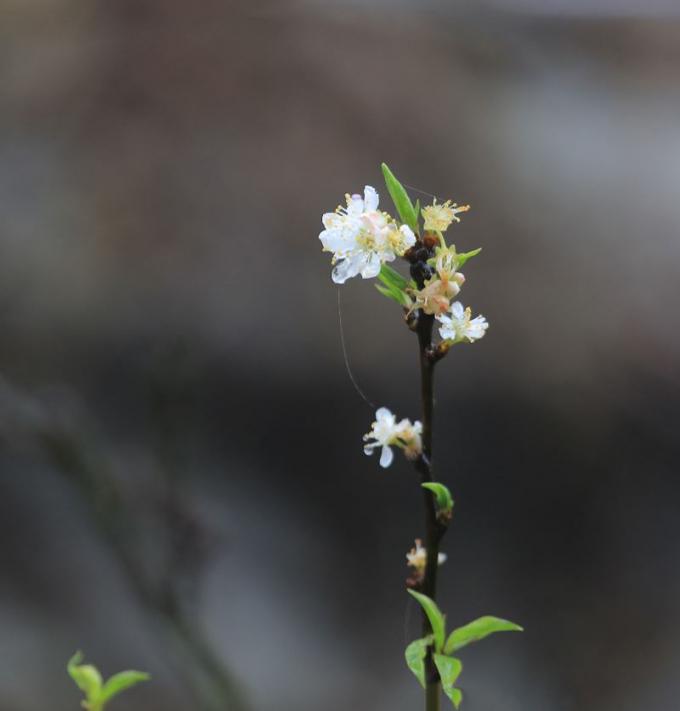 Lên Bà Nà ngày xuân còn bắt gặp nhiều loài hoa như nhất chi mai.