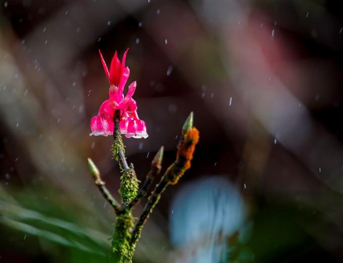 Hoa đào chuông trong mưa xuân trên đỉnh Bà Nà.