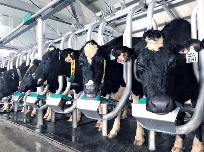 Đàn bò A2 thuần chủng đầu tiên của Việt Nam nhập từ New Zealand được chăm sóc trong Tổ hợp trang trại công nghệ cao Thống Nhất Thanh Hóa của Vinamilk.