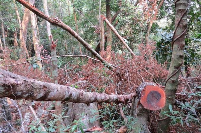 Cành, ngọn của những cây gỗ mun bị cưa đổ nằm ngổn ngang giữa rừng.