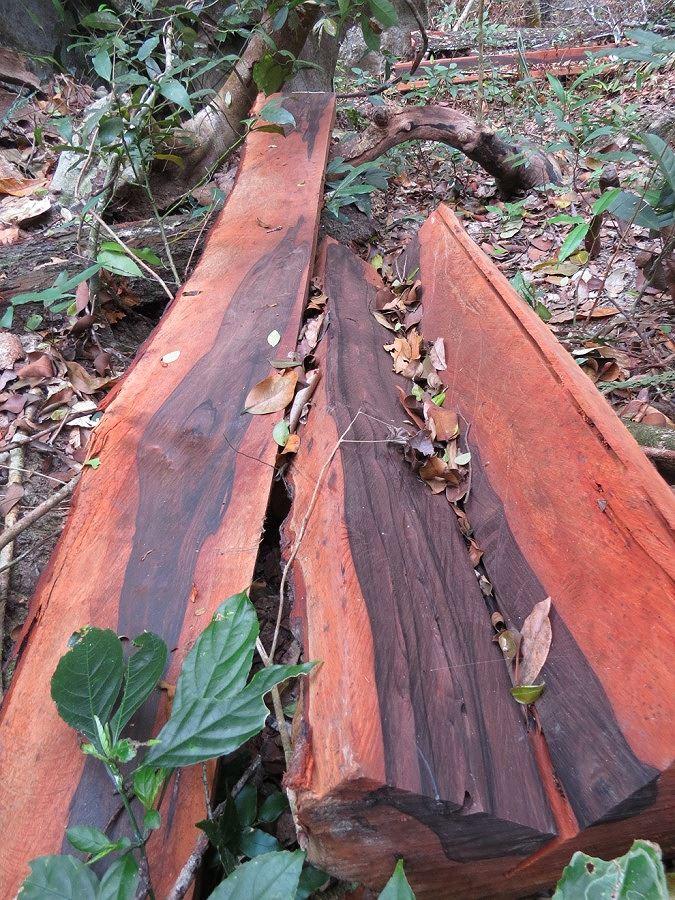 Những gì còn sót lại của 1 cây gỗ mun cổ thụ.