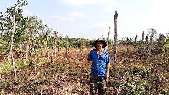Người dân xã Ia Blứ trồng chanh dây do Công ty Tuấn Đại An cung cấp giống nhưng không có quả, buộc dân phải chặt bỏ.