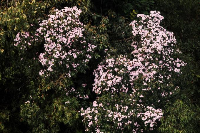 Quên lối về trong Lễ hội hoa đỗ quyên có một không hai tại Fansipan