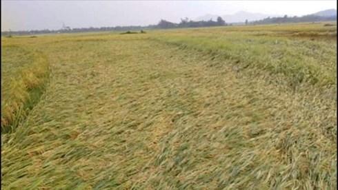 Nhiều hecta lúa ở Hương Sơn đang độ thu hoạch bị đổ rạp.