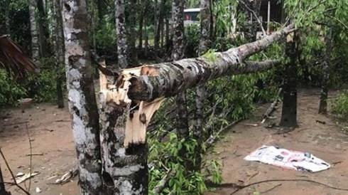 Trên 60 cây dó trầm của các hộ dân ở hương Khê bị đổ gãy.