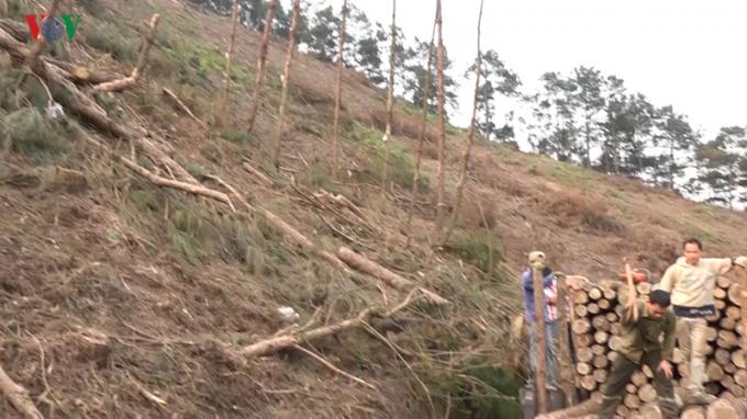 Người dân khai thác gỗ thông trên đường lên khu du lịch Mẫu Sơn. Không chỉ những cây thông đủ tuổi mà cả những cây gỗ nhỏ cũng được khai thác triệt để.