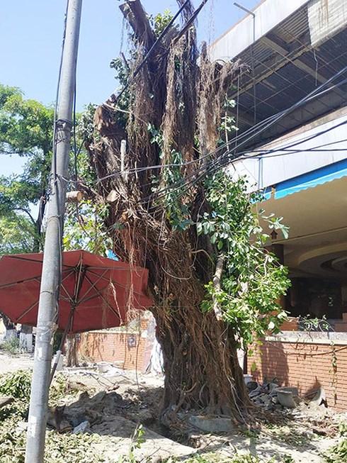 Đây chính là cây cừa có đường kính gốc lên tới 120cm mà ngày 17/5 Công ty CVCX Đà Nẵng phát hiện bị chặt hạ chiều cao còn lại khoảng 7m, đang bị một số người đào gốc khoang bầu cây nhưng không có giấy phép.