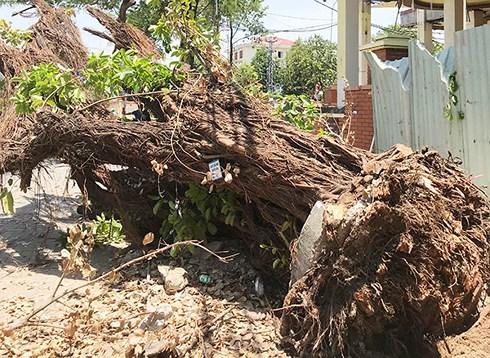 Ngày 4/6, Công ty Công viên Cây xanh Đà Nẵng phát hiện một cây cừa cỡ lớn trên vỉa hè trước nhà số 160 Núi Thành (phường Hòa Thuận Đông, quận Hải Châu) bị đào bật gốc.