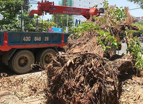 Sáng 4/6, Công ty CVCX Đà Nẵng tiếp tục phát hiện cây cừa này bị đào bật gốc và  đang bị xe cẩu 43C-040.28 chuẩn bị cẩu đi.