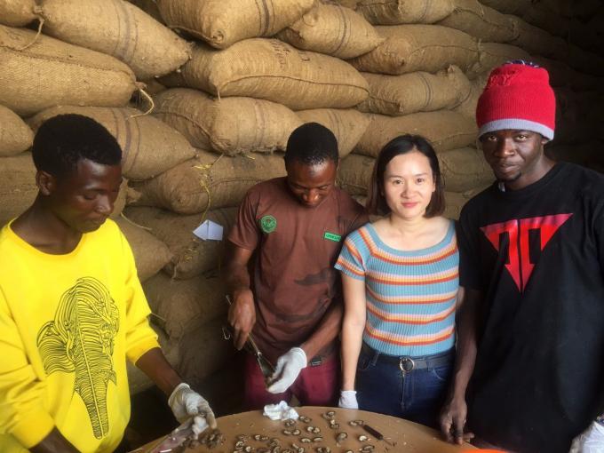 Các chuyên gia của T&T Group kiểm tra chất lượng điều thô tại kho ở Tanzania .