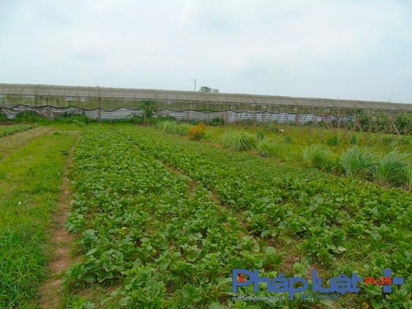 Vườn rau hữu cơ do các tổ viên THT trồng. (Ảnh: Hà Đương).