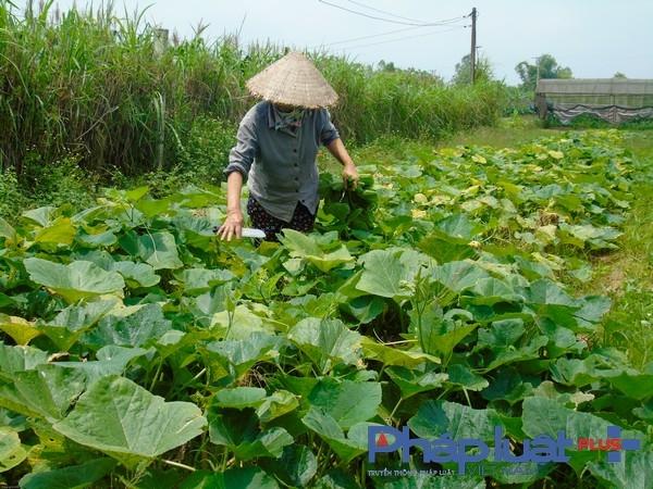 Áp dụng tiêu chuẩn PGS vào sản xuất rau hữu cơ. (Ảnh: Hà Đương).