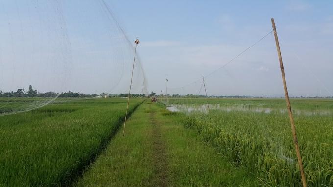Những tấm lưới bẫy chim trải dài vô tận.