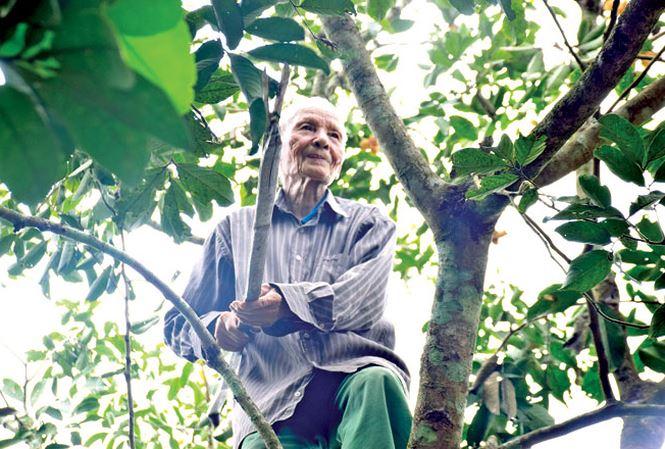 Ðã 90 tuổi, cụ Nguyễn Ngoạn vẫn hàng ngày trèo cây hái trái. Ảnh: Hoài Văn.