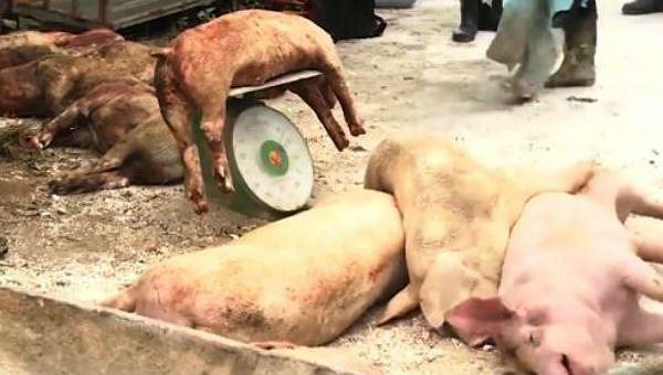 Lợn bị tiêu hủy do dịch tả lợn châu Phi được hỗ trợ 38.000 đồng/kg.