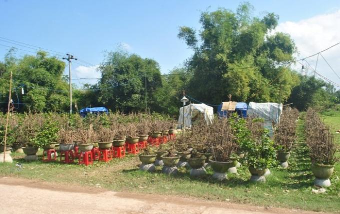 Mai từ các vườn được xếp ở dọc đường, tập kết ở các khu đất rộng để thuận tiện cho việc buôn bán, vận chuyển.