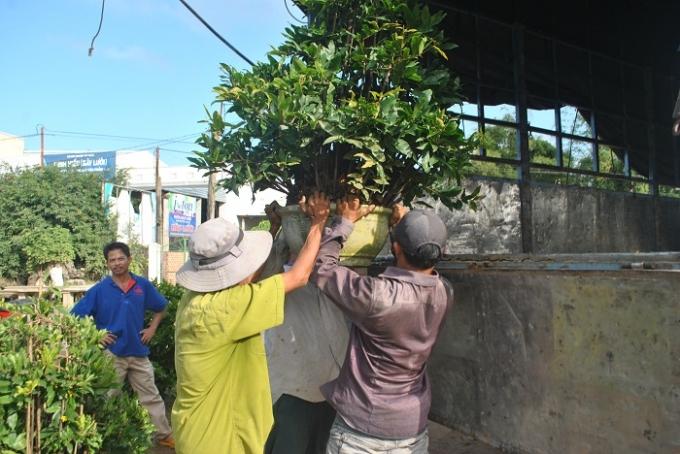 Mai lá được các thương lái đến tận nhà vườn thu mua để vận chuyển vào Nam. Trong ảnh, ba người đàn ông cùng nhau khiêng một chậu mai lên xe tải.
