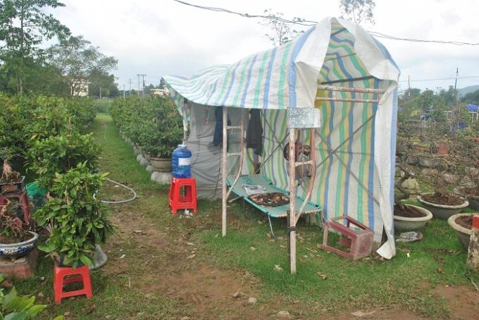 Trông coi mai cả ngày lẫn đêm ở các khu bày bán, các chủ vườn đã dựng những túp lều tạm như thế này, từ nay đến Tết, họ ăn cùng mai ngủ cùng mai.