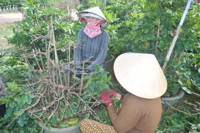 """Những người phụ nữ lặt lá mai thuê lúc nông nhàn, họ gọi vui đây là nghề """"nhặt lá đếm tiền"""". Với công việc nhẹ nhàng, tiền công giao động từ 120 đến 150 nghìn đồng một ngày một người, những người phụ nữ có thêm nguồn thu để lo cho gia đình."""