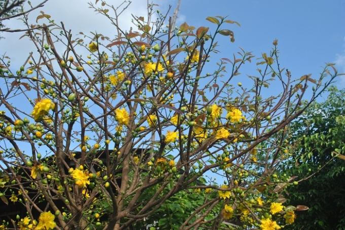 Đâu đó có một vài cây mai được chủ nhân cho nở sớm. Những cánh hoa vàng rực dưới trời chiều, mùa xuân lại về nữa rồi!